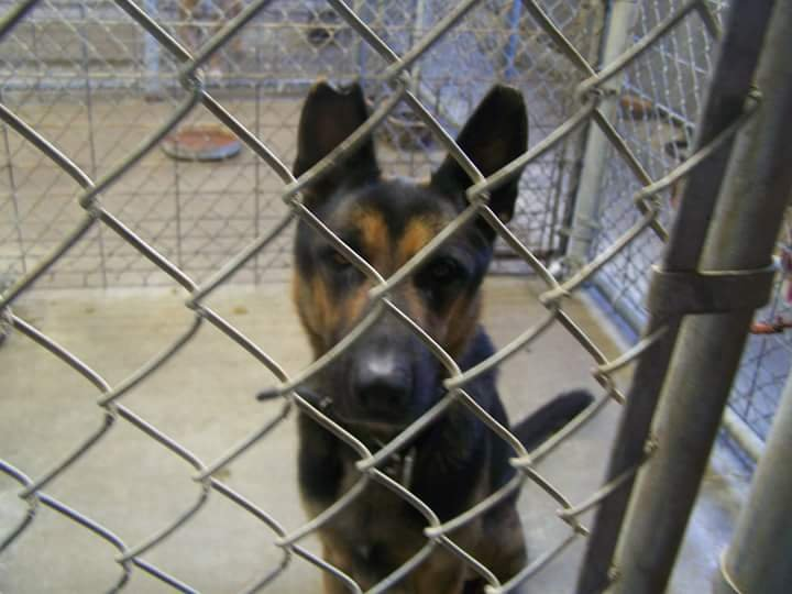 German Shepherd (618) 252-7859