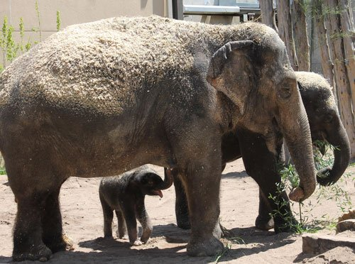 Ellie and sister Maliha on April 29, 2013 with a calf. Photo by Sarah Riffle/Saint Louis Zoo
