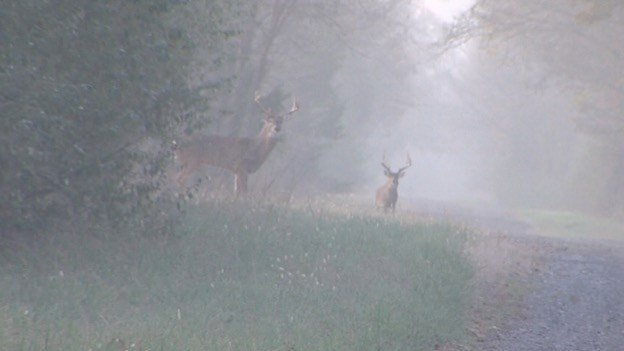 Two bucks walking near the check in station just after daylight